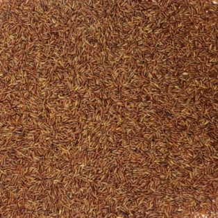 Punane riis
